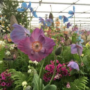 Blue purple poppies at chelsea flower show precious flora blue poppy royal horticultural society chelsea flowershow mightylinksfo