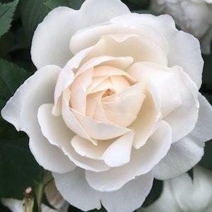 White rose Chelsea