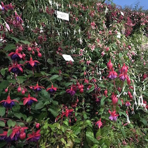 Fuchsia at Hampton Court Flowershow