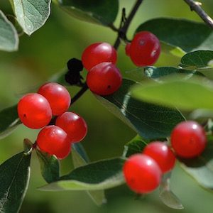Honeysuckle berry