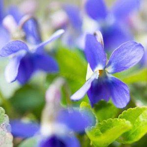 https://www.gardenia.net/plant/viola-odorata-sweet-violet