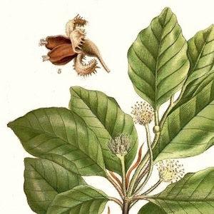beech leafs