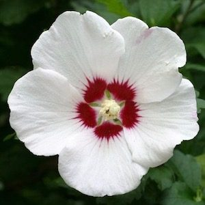 Hibiscus-rose-of-sharon